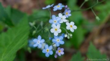 Kohler-Andrae State Park - Invasive plant Woodland forget-me-not (Myosotis sylvaticum or M. sylvatica)