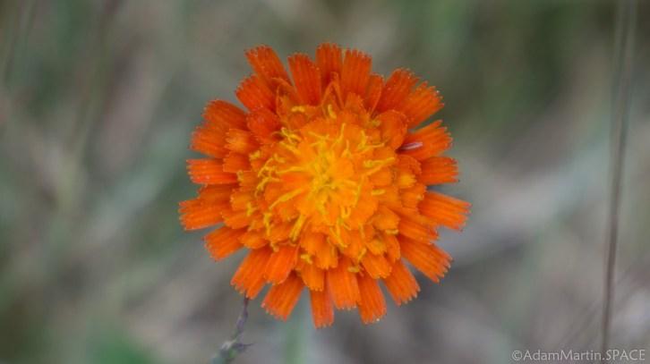 Kohler-Andrae State Park - Invasive species Orange Hawkweed on Creeping Juniper Nature Trail