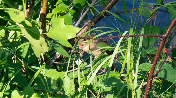 Straight Lake State Park - Chipmunk eating wild berries