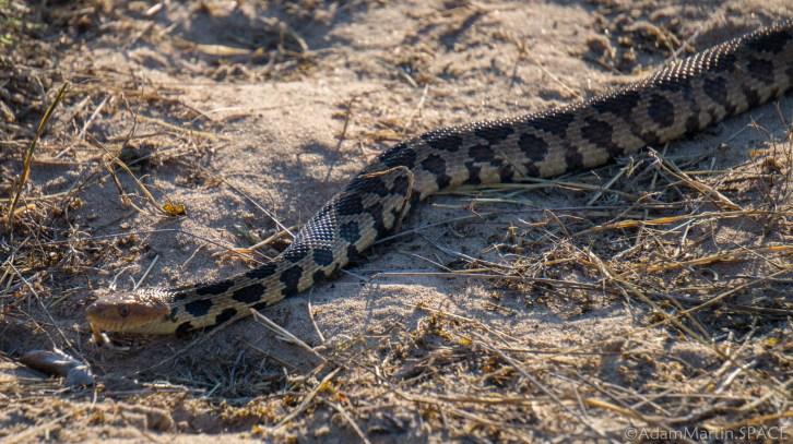 Newport State Park - Eastern Fox Snake