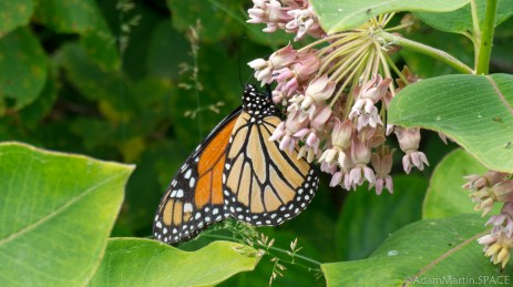 Rock Island State Park - Monarch butterfly