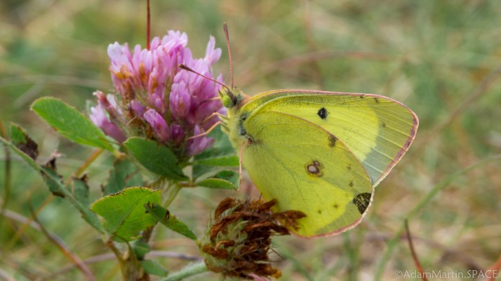 Rock Island State Park - Clouded Sulphur butterfly