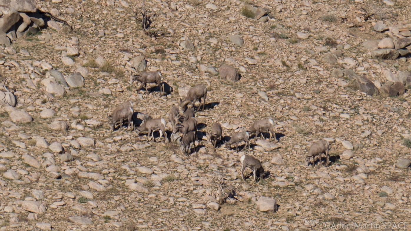 Joshua Tree - Bighorn Sheep at Keys View