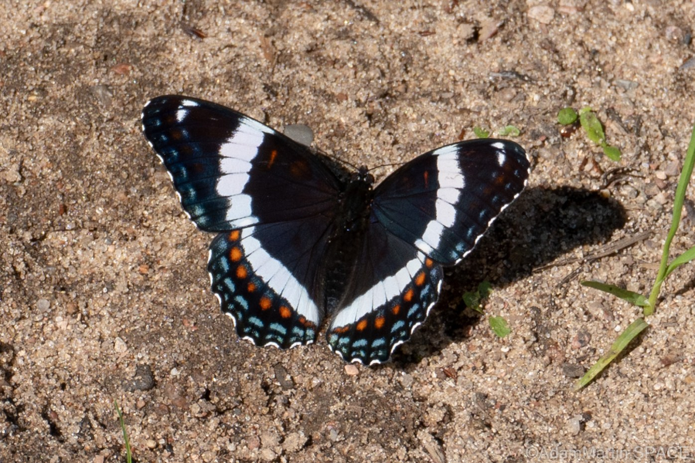 Gilmer Falls - White Admiral butterfly