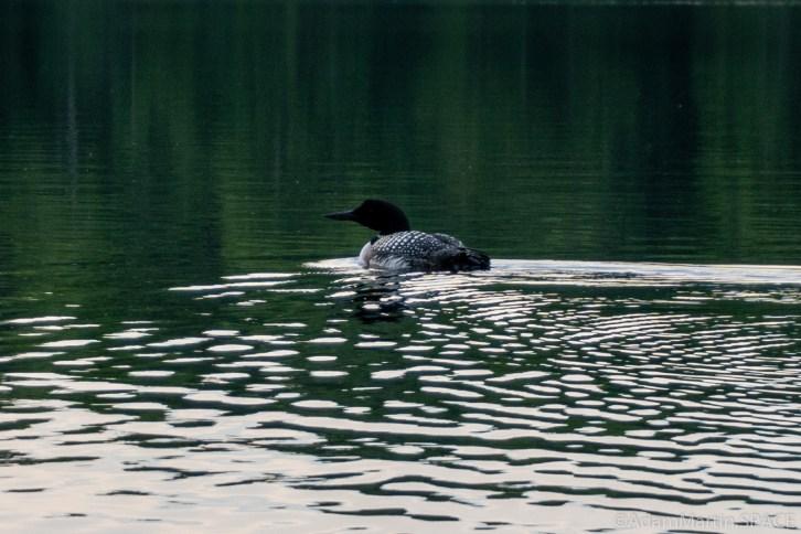 Lost Lake Recreation Area - Paddling alongside a Common loon