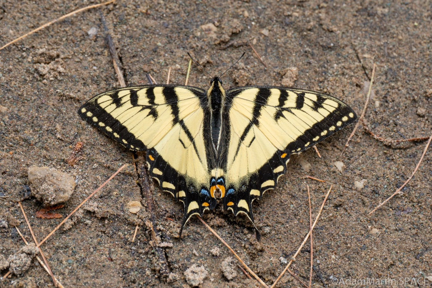 Quiver Falls Rapids - Eastern Tiger Swallowtail