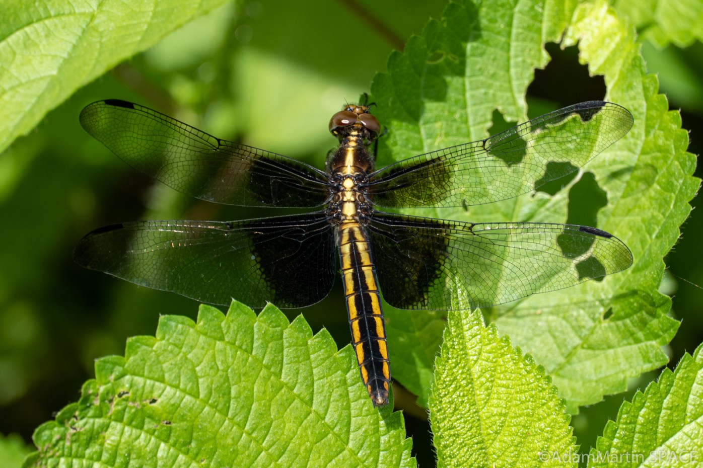 Red Cedar Waterfall - Yellow-sided skimmer dragonfly, female (Libellula flavida)