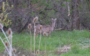 Whitetail deer looking at me but unconcerned by my presence