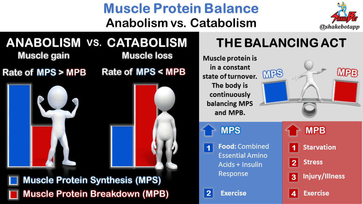 Muscle-Protein-Balance-Anabolism-vs-Catabolism