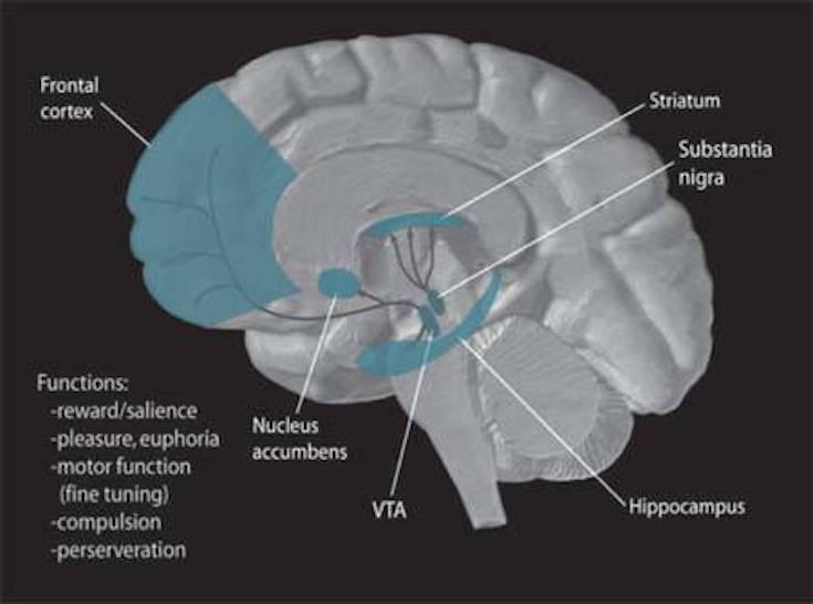 Dopmine pathways