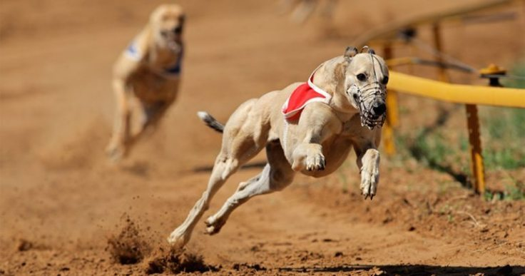 Greyhound playing to it's strengths