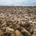 A large walrus herd rests at Point Lay, on Alaska's northwestern coast, on Sept. 18, 2015. Nearby village residents have discouraged hunting and visitation at such haulouts, which has reduced the number of stampedes and associated trampling deaths to levels below what biologists had expected when the large haulouts began to appear about a decade ago. (Photo courtesy of Lori Polasek)