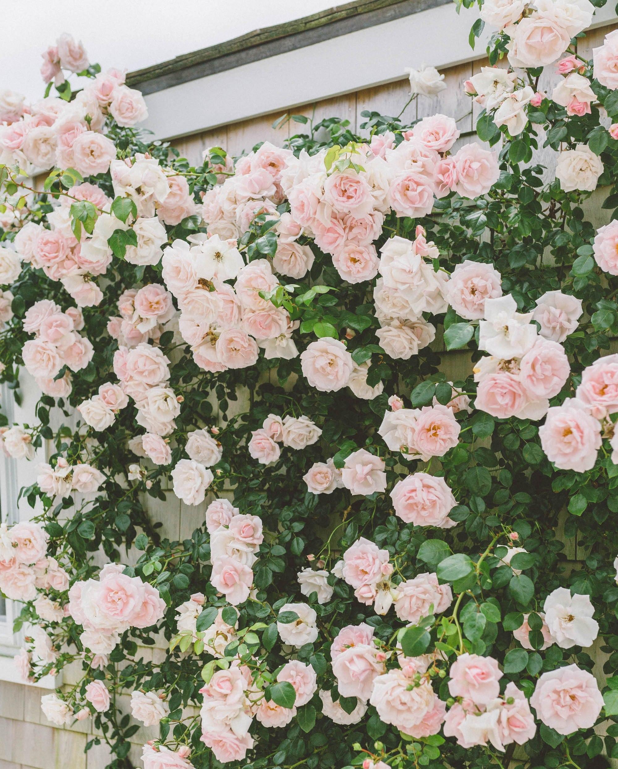 Roses in Nantucket