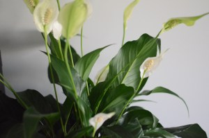peace lily kokedama, moss ball, A Dash of Green