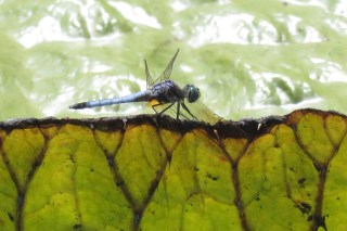 Lots of dragon flies hanging out