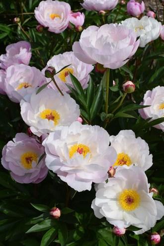 Ann Arbor-Michigan-The Peony Garden at Nicholas Arboretum-