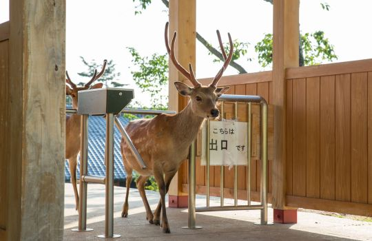 Photographer catches deer invading a town in Japan