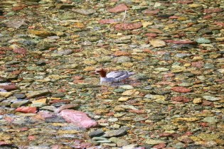 A common merganser swimming near a waterfall at Glacier National Park.