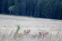 A moose in the distance at Glacier National Park in Montana.