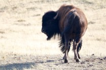 Bison just outside the Rockies at Waterton Lakes National Park.