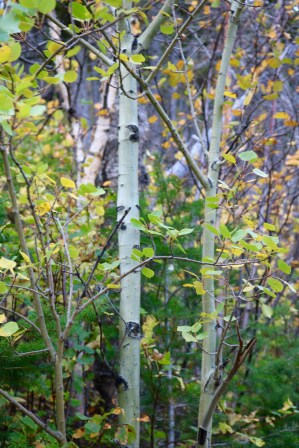 This birch tree has a little green in its bark.