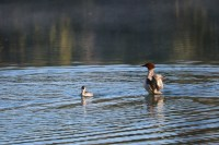 A couple common mergansers in Two Jack Lake in Banff National Park.