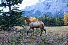 Elk at the side of the road in Banff National Park.
