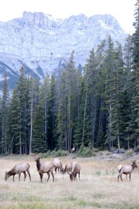 A herd of elk at the side of the road, with a large male watching over in the distance in Banff National Park.