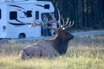Elk in Jasper National Park.