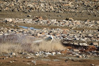 Bear #1 thinking he's camouflaged in the short shrubs of the tundra.