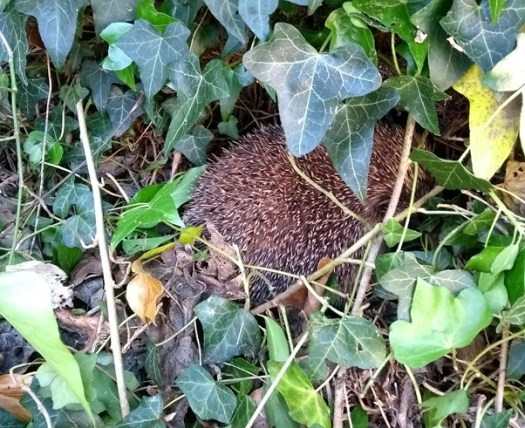 Hedgehog In the churchyard
