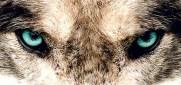 wolf eyes focused