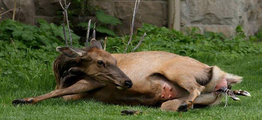 Elk Gives Birth By Ranger Station