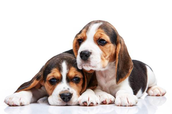 Browse Of Cute Beagle Puppies