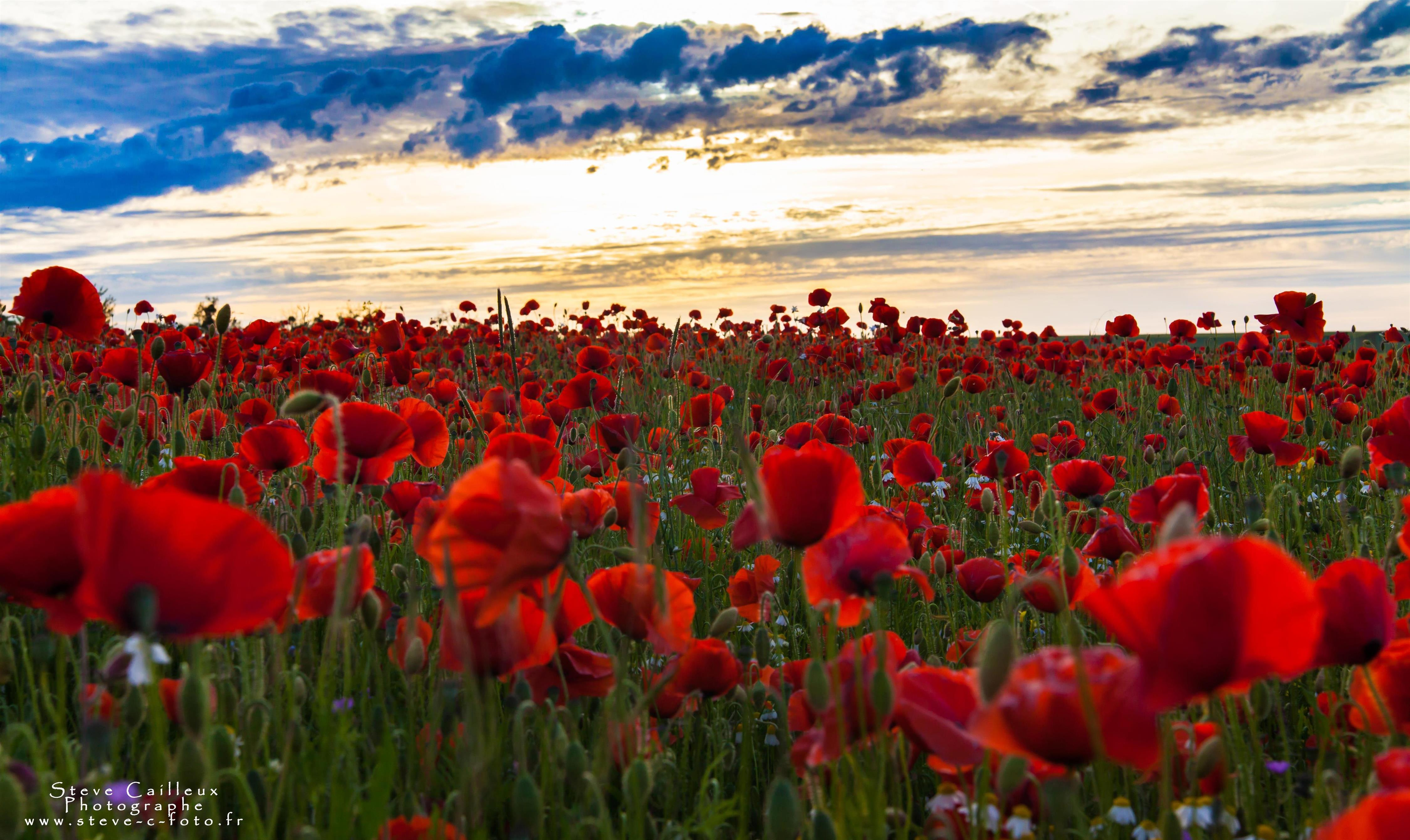 Sunset on poppy