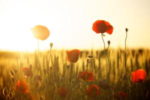 In Flanders Fields ...