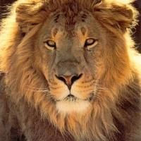 THE  LIFE OF THE LION: FIVE LESSONS LEADERS CAN LEARN FROM LIONS