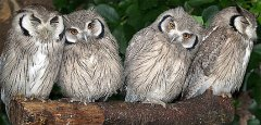 white-faced-scops-owls factzoo