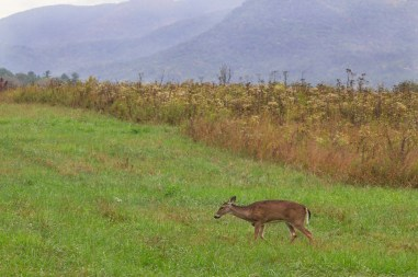 Doe in the Valley, Great Smoky Mountains National Park, TN