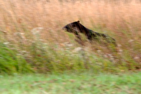 Bear in the Grass, Cades Cove, Great Smoky Mountain National Park, TN