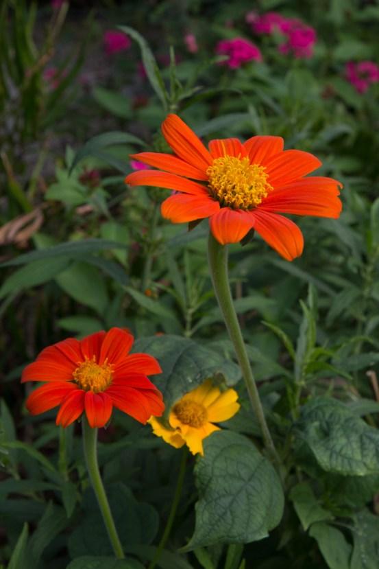 Orange wildflower, Mounts Botanical Garden, West Palm Beach, FL