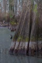 Cypress skirt, Fisheating Creek Outpost, Palmdale, FL