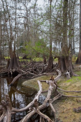 Cypress tree Tangle, Fisheating Creek Outpost, Palmdale, FL