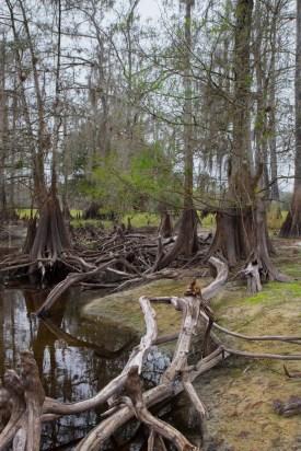 Cypress tree Tangle, Fisheating Creek Outpost, Palmdale, FL