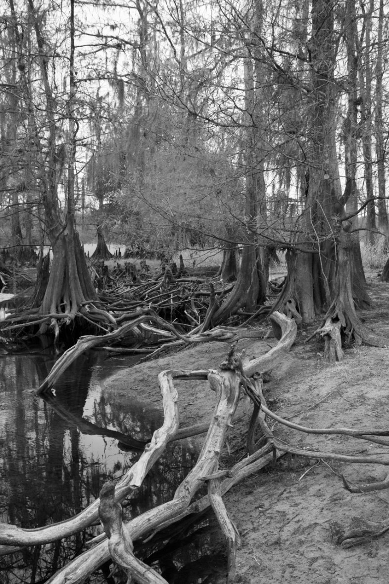 Cypress tree Tangle in black and white, Fisheating Creek Outpost, Palmdale, FL