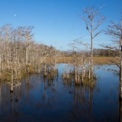 Cypress Tree Stillness, Grassy Waters Preserve, West Palm Beach, FL
