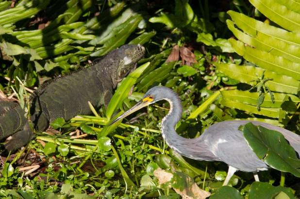Tricolor Heron with green iguana, Wakodahatchee Wetlands, Boynton Beach, FL