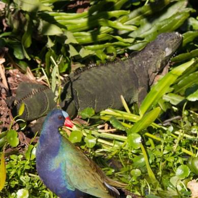Purple Gallinule with green iguana, Wakodahatchee Wetlands, Boynton Beach, FL
