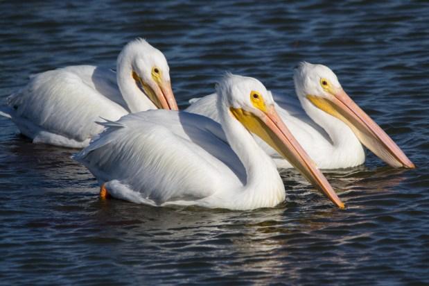 White Pelican Trio, Viera Wetlands, Viera, FL