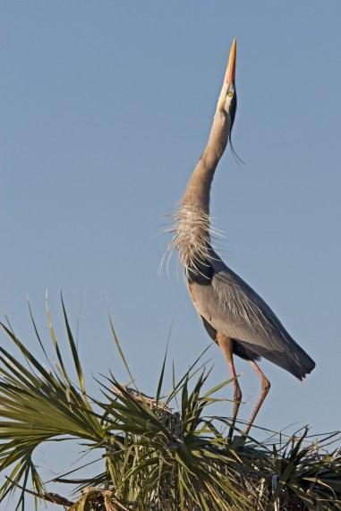 Mating dance, Great Blue Heron, Viera Wetlands, Viera, FL